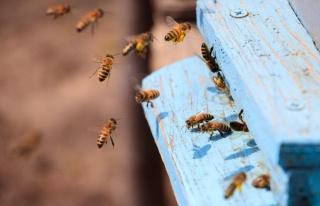 Topluca Ölümler Başladı: Güney Afrika'da Arılar...