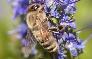 Türkiye'de arılar nüfus planlamasına gitti