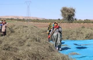 Türkiye'nin nane deposu Nizip'te hasat sürüyor