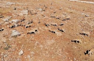 Urfa dağlarındaki ceylanlar havadan görüntülendi