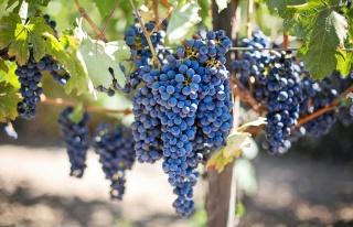 Uzaya Gönderilen Şarap ve Üzüm Asmaları Dünya'ya...