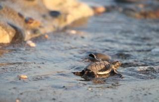 Yaklaşık 500 bin yavru kaplumbağa denizle buluştu