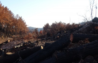 Yanan ağaçlar kesilirken, yeniden filizlenen ağaçlara...