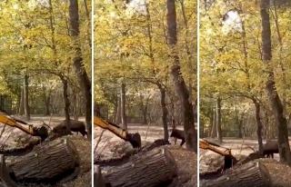 Yuvası Olan Ormanı, Canı Pahasına İş Makinesinden...
