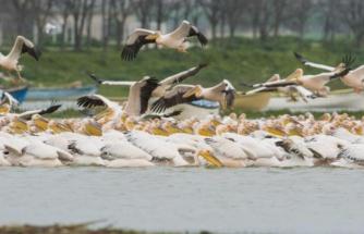 Ak pelikanların göçü bu yıl da görüntülendi