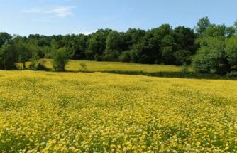 Baharda açan çiçekler doğayı altın rengine bürüdü