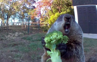 Bahçedeki Meyve ve Sebzelerin Azaldığını Fark Eden Ev Sahibinin Yerleştirdiği Kamera ile Ortaya Çıkan Muhteşem Görüntüler!