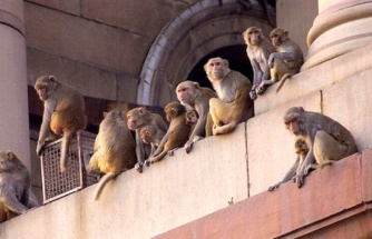 Deneyde Kullanılan olarak kullanılan maymunlar, asistana saldırarak koronavirüs kan örneklerini çaldı