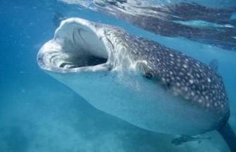 Denizlerin en büyük canlısı