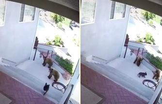 Evin Önüne Gelen İki Ayıyı Tek Başına Savuşturan Cesur Köpek