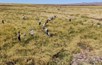 Karacadağ pirincinin zorlu hasadı başladı