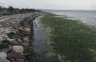 Karşıyaka'da Sahil, 'Deniz Marulu' Yosunlarla Doldu