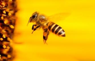 Koronaya İyi Geliyor Diyerek Bal Arılarına Kendilerini Isırtıyorlar: 'Bilimsel Kanıt Yok'