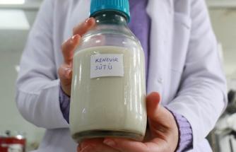 Laktoz İntoleransı Olanlar ve Veganlar Özel: Kenevir Tohumundan Süt Üretildi