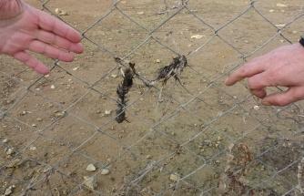 Ömerli Barajı'nda tellere takılıp telef olan hayvanlar suların çekilmesi ile görüldü