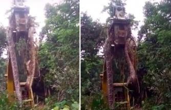 Orman içerisinde çalılıkların arasından dünyanın en devasa yılanı çıktı! Gören adamın dili tutuldu