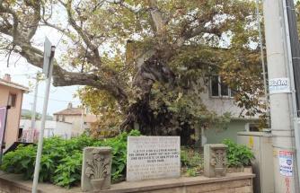 Süleyman Paşa'nın 7 asır önce atını bağladığı anıt ağaç kuruyor