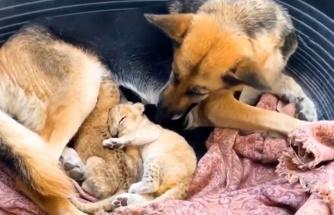 Terk edilen aslan yavrularına köpek annelik yapıyor