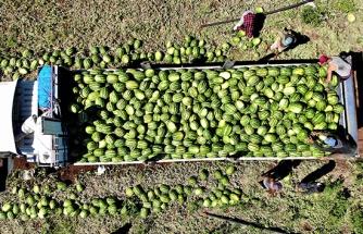Tescilli Diyarbakır karpuzunda hasat zamanı