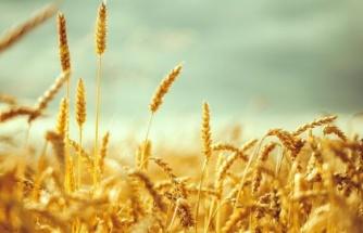 Trakya'da Kirlilik Alarmı: Buğday Tarlalarında Ağır Metal İzi